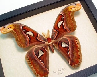 Real Framed Attacus Atlas Male X-Large Atlas Moth With Snake Head Wings 158L