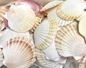 "Seashells - Set of 10 Pecten Shells - 2""- 3"" White and Brown sea shells - bulk shells crafting coastal"