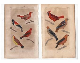 c. 1817 ANTIQUE BIRD PRINTS - hand colored bird engravings - original antique prints - ornithology prints - avian art - Buffon - cardinal