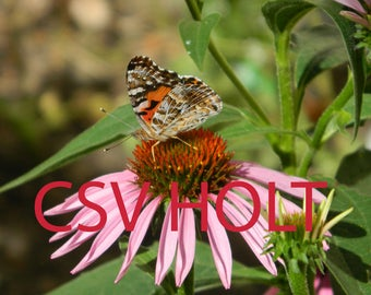 "Original Photography: ""Butterfly among the Echinacea flowers"""