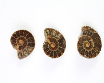 3 Buttons Ammonite Fossil
