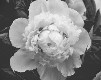 Peony Blossom, B&W Fine Art Print, Black White Peony Photograph, Full Bloom, Petals, Flower Photography, Floral Home Decor, Square Prints