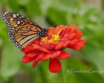 Monarch Butterfly Photography, WIldlife Photography, Nature Photography, Butterfly, Garden Photography, Flower Photography