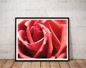 rose photography art prin...