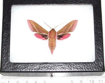 REAL framed sphinx moth pink Deilephilia elephenor sphingidae Africa