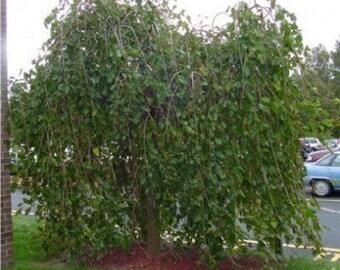10 Black Mulberry Tree Seeds, Morus nigra