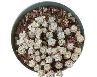 Sedum Capo Blanco spathufolium 'Capo Blanco' planter of White Powdery Stonecrop Flowers Succulents Rare Succulents Exotic Plants