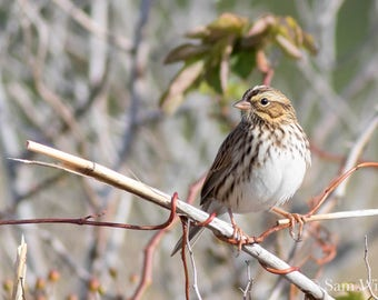 Streaked Sparrow in Morning Light - Nature and Wildlife Photography Wall Art - Savannah Sparrow perched on a twisted vine at Cape May Point