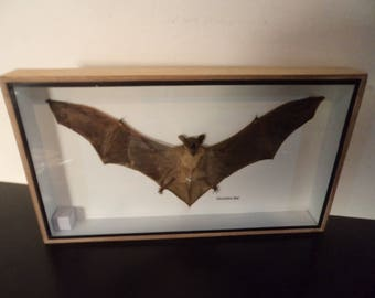Taxidermy Real Horseshoe Bat Boxed Display Education Zoology Entomology Science