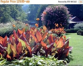 BIG SALE Canna Tropicanna (2- 3 Eyes).  Bulbs-Give your garden a tropical look-Now Shipping !