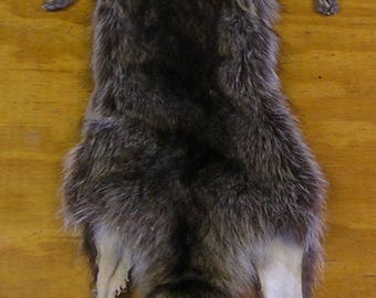 XXXXLarge Wyoming Raccoon Pelt for Life Size Mount