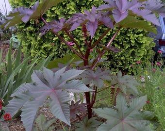 Castor Bean Gibsonii * Red Leaves!!  Seeds