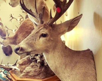 Vintage Coues Deer Mount Antlers, Whitetail Shed Antlers. Taxidermy Mount, Real Animal Skulls; Western Decor, Home Decor, Rustic Antlers