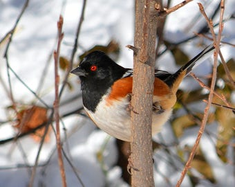 Spotted Towhee at Red Rocks Park