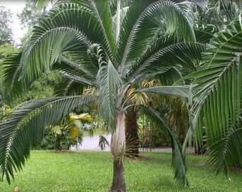 Dictyosperma album Princess Palm or Hurricane Palm 10 seeds