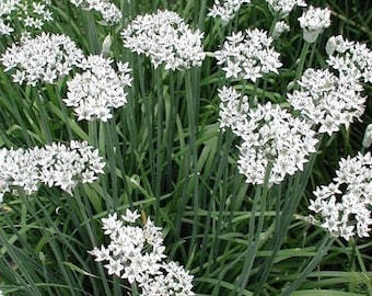 Garden garlic chive seed a. 25 seeds of perennial herb.