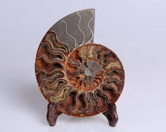 Split Ammonite Fossil Specimen Shell Healing Madagascar,Natural Home Decor+ Free Wenge Stand  J504L