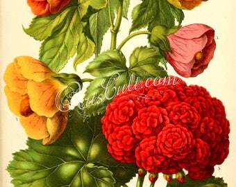 flowers-15389 - luteum erectum, violacea purpurea, petuniae florum, geranium zonale vintage bouquet printable picture