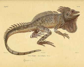 reptiles_and_amphibias-00832 - Iguana tiaris dilophus Hypsilurus dilophus Crowned forest dragon Indonesian forest dragon agamid lizard print