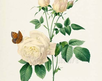 Bengale The hymenee Flower Art Print, Botanical Art Print, Flower Wall Art, Flower Print, Floral Print, Redoute, white,Butterfly Butterflies