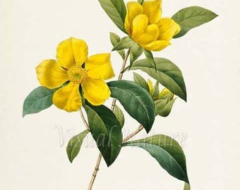 Snake Vine Flower Art Print, Botanical Art Print, Flower Wall Art, Flower Print, Floral Print, Redoute Art, yellow, green, Dillenia scandens