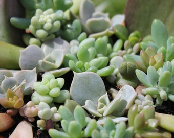 Succulent Propagation Kit - With 5 to 20 Baby Succulents
