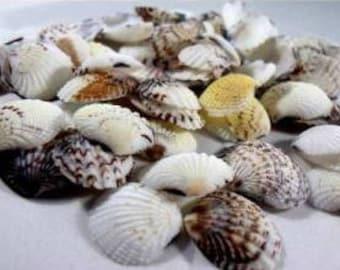 Sea Shell from Mediterranean Sea Side from Alanya Natural Sea Shell