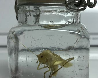 Preserved Real Katydid Specimen, Tettigonia Scudderia, Taxidermy, Entomology