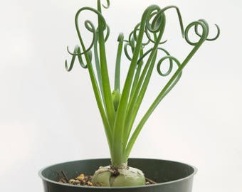 Succulent Frizzle Sizzle Plant, RARE Succulent, Easy House Plant, Indoor Plants, Albuca Spiralis, Green Gift, Shelf Decor Frizzle Sizzle