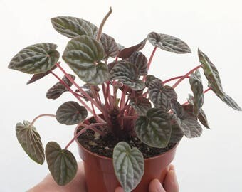 Peperomia Caperata, Watermelon Peperomia, Succulent, Air Cleaning Plant, Easy House Plant, Indoor Plant Red Ripple Peperomia Apartment Decor