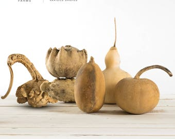 Small Dried Gourds   Various Shapes