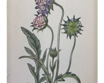 Botanical Print - Flowers of the Meadow - #17 Field Scabious