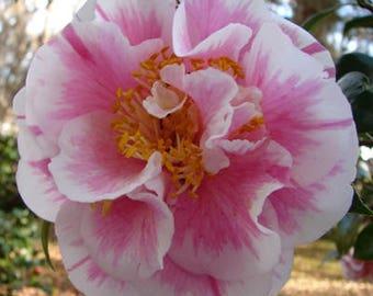 "Camellia japonica 'Herme"""