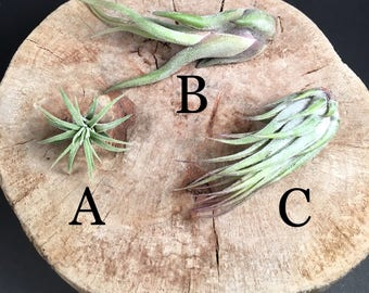 Air Plant - Tillandsia - Live Air Plant
