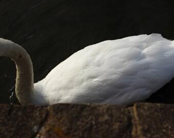 Palace Swan
