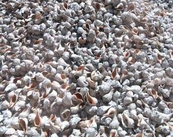 Shells, NJ, Knobbed Whelks