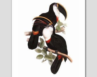 """Bird Art, Toucans Print (Exotic Home Decor, Colorful Bedroom Wall Print) -- """"Culminated Toucans"""" 19th Century Artist"""