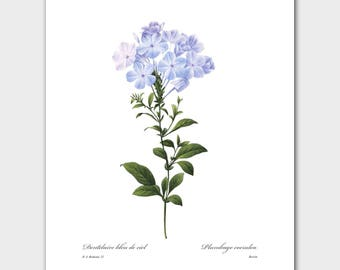 French Country Wall Decor (Botanical Illustration Print, Blue Flower Art) -- Pierre Redoute