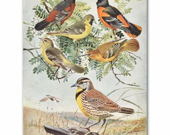 "Bird Print, Oriole Art, Meadowlark Print (1930s Home Office Decor, Vintage Living Room Print) --- ""Orioles & Meadowlarks"" No. 61"