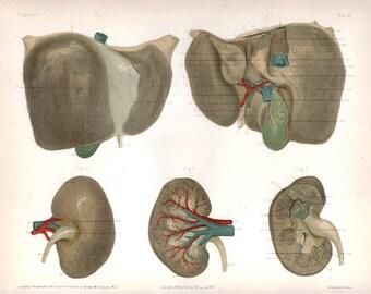 1892 Anatomy Print - Liver and Kidneys
