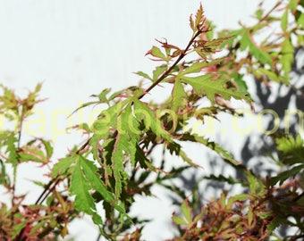 Mama Fu Japanese Maple Tree