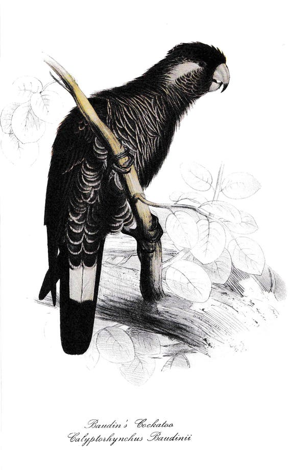1940's print of black parrot, Baudin's Cockatoo, reproduction of coloured lithograph by Edward Lear, black, grey, white feathered bird