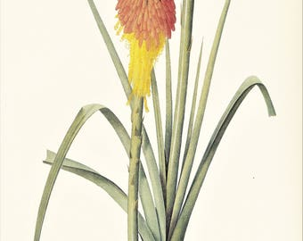 Redhot poker Kniphofia vintage botanical print Pierre-Joseph Redouté red yellow garden flower gift for gardener illustration 8.5 x 12 inches
