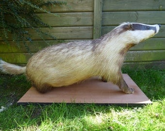 Taxidermy large old badger (log no:398). Length 93cm including tail. Mammals. (Meles meles).
