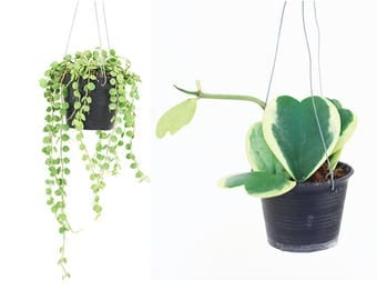 """End of Years Sales  """" Dischidia nummularius aka button   + Hoya  Kerrii Variegata """"  10 limited qty by Joinflower Joinfolia"""