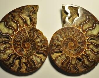 Unique Massive Split Ammonite Fossil Specimen Shell Healing Madagascar 1 pair 126x98x13 mm. 434 g. F2