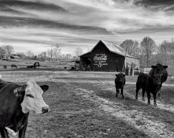 Original Black and White Artist Print of a Coca-Cola Barn with Cattle in the Foreground -- by Donna Caplinger