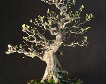 Specimen Imported Japanese flowering Quince Bonsai Tree 75cm