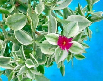Ice Plant Succulent for Terrarium Livingstone Daisy Dorotheanthus bellidiformis + FREE GIFT!