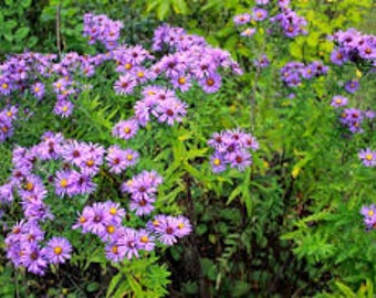 "6 New England Aster plants. 3.5"" potted plants."